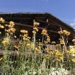 Sudtirol, Ridnaun, Ratschings, Veiterhof, Familie Albin Klotz, Ferien auf dem Bauernhof, Roter Hahn, Bauerngarten, hofeigene Produkte, gelbe Blumen: Tombinambur,